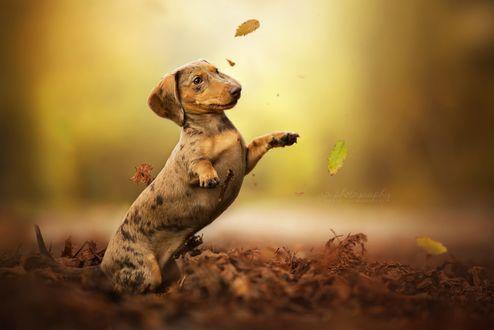 Обои Такса играет с осенней листвой