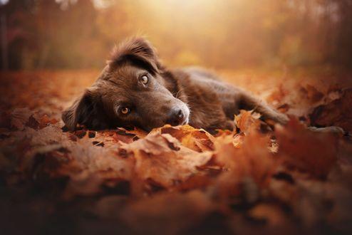 Обои Пес лежит на осенней листве, фотограф Anne Geier
