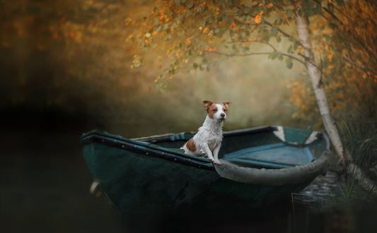 Обои Собака породы Джек Рассел терьер в лодке под осенним деревом, фотограф Анна Аверьянова