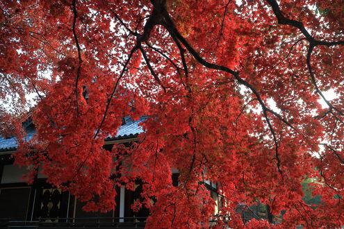 Обои Домик за ветвями осеннего дерева, фотограф yopparainokobito