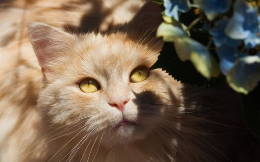 Обои Кошка с бело-персиковым окрасом смотрит на цветы гортензии
