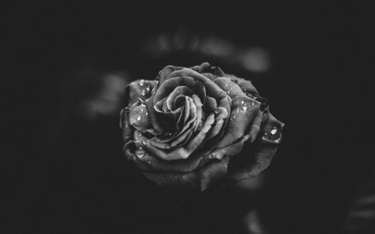 Обои Роза в каплях воды в черно-белом цвете