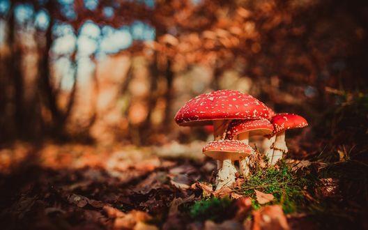 Обои Мухоморы в осеннем лесу, фотограф Dirk-Jan Kraan