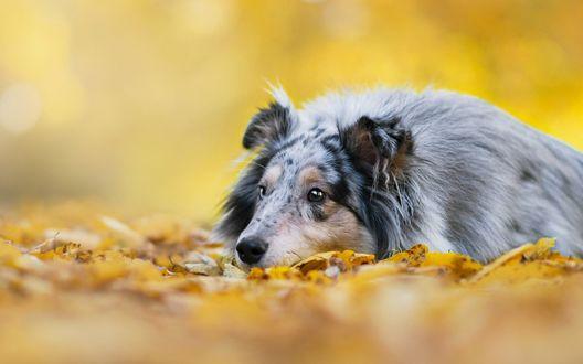 Обои Шотландская овчарка лежит в осенних листьях