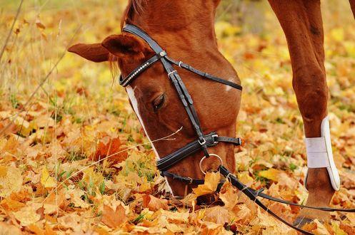 Обои Лошадь на земле, усыпанной кленовыми осенними листьями