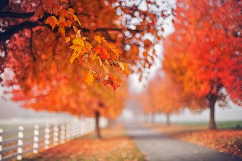 Обои Листья клена на размытом фоне осеннего парка