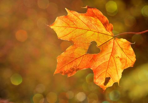 Обои Осенний кленовый лист с вырезанным сердечком на нем
