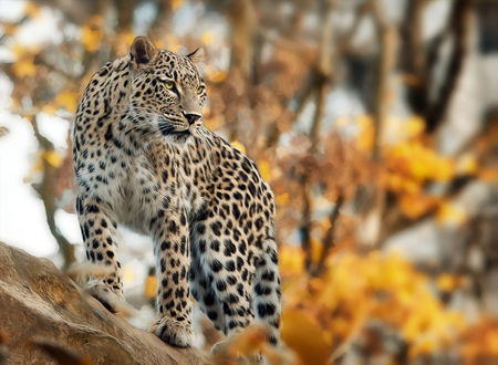 Обои Леопард стоит на фоне осеннего дерева, фотограф Sonja Probst
