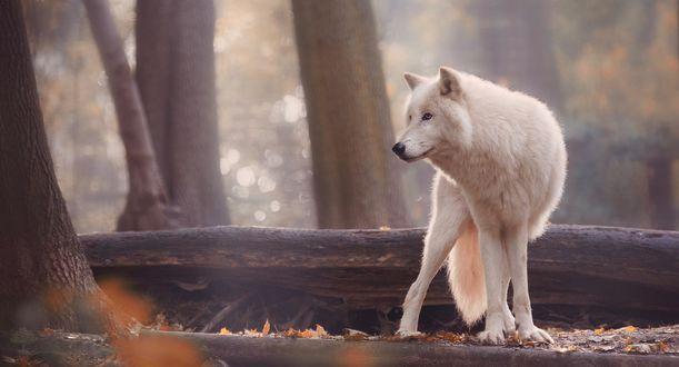 Обои Белый волк в осеннем лесу, фотограф Sonja Probst