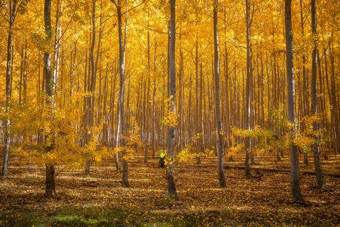 Обои Осенний золотой лес, фотограф Steve Schwindt