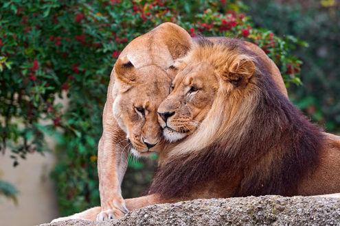 Обои Лев лежит на камне и рядом стоит львица