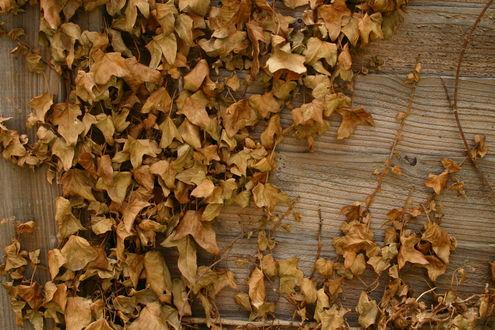 Обои Засохший желтый плющ на деревянном доме осенью