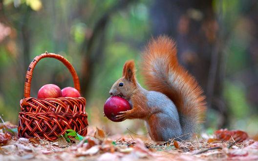 Обои Белка кушает яблоко в осеннем парке, фотограф Вадим Трунов