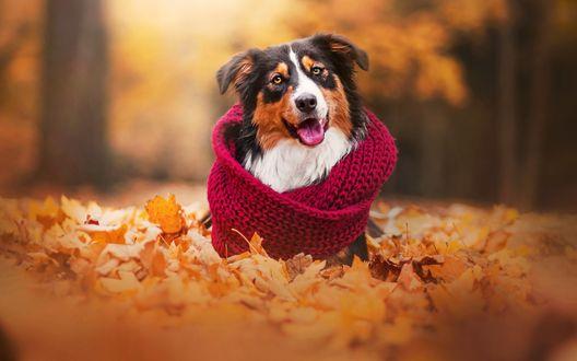 Обои Собака с шарфом сидит в осенних листьях, фотограф Kristyna Kvapilova