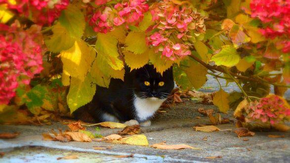 Обои Черно-белая кошка сидит под пожелтевшим кустарником гортензии