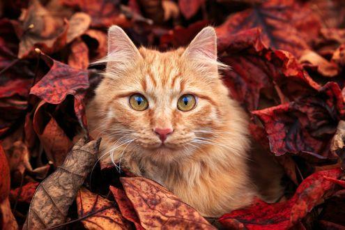 Обои Рыжий кот в осенней листве, фотограф Piero Zanetti