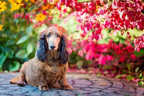 Обои Собака на фоне размытых осенних цветов и листьев