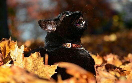 Обои Черный кот в желтых осенних листьях на размытом фоне