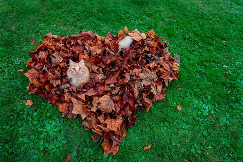 Обои Рыжий кот в сердце из осенних листьев на зеленом газоне, фотограф Piero Zanetti