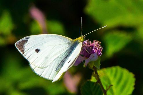 Обои Белая бабочка капустница на цветке