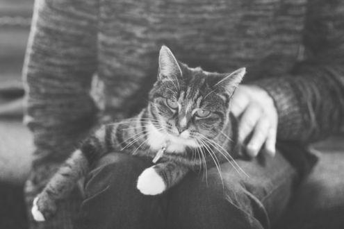 Обои Полосатый кот лежит на коленях человека