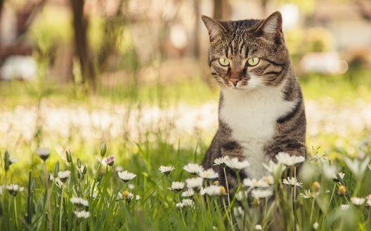 Обои Полосатый кот сидит в траве среди маргариток
