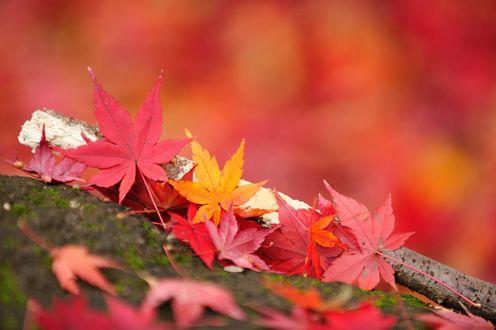 Обои Разноцветные листья клена и ветка на размытом фоне