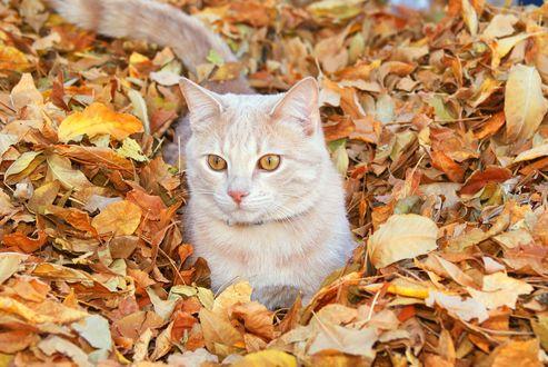 Обои Рыжий кот в осенней листве