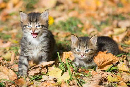 Обои Котята в осенней листве на размытом фоне