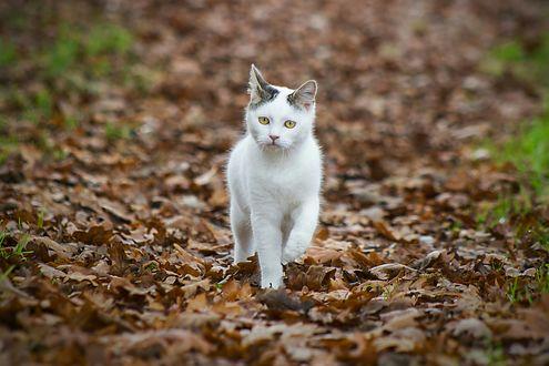 Обои Кот идет по осенней листве