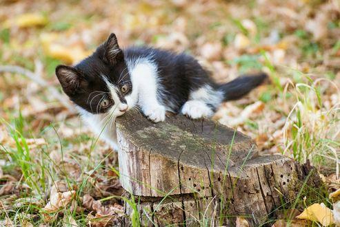 Обои Котенок на пеньке в осенних листьях