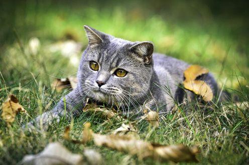 Обои Серый кот и осенние листья