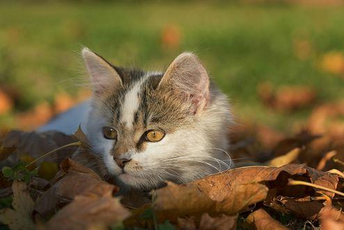 Обои Кот и осенние листья на размытом фоне