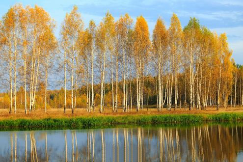 Обои Осенний пейзаж с березами на берегу