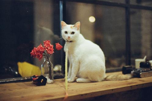 Обои Белый кот сидит на подоконнике перед бутылочкой с цветами