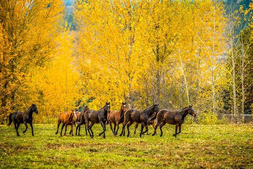 Обои Табун лошадей и березы в желтом одеянии