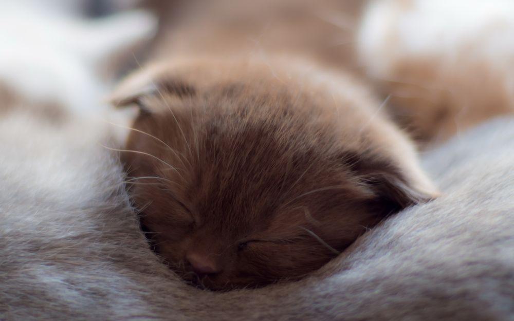 Обои для рабочего стола Милый котенок спит на мягком одеяле