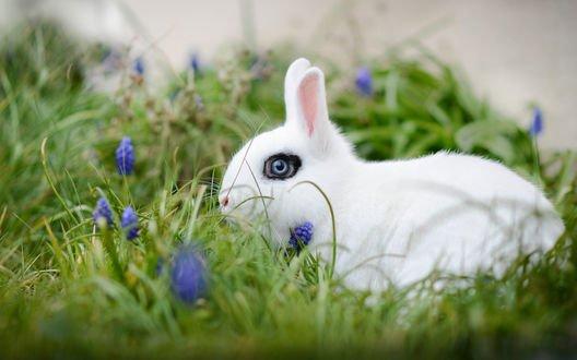 Обои Белый кролик с голубыми глазами сидит в траве среди цветов мускари