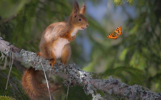 Обои Белочка сидит на ветке дерева и смотрит на бабочку