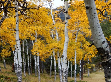 Обои Осенний лес с желтыми березами