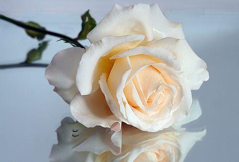 Обои Белая роза в каплях воды лежит на серой отражающей поверхности
