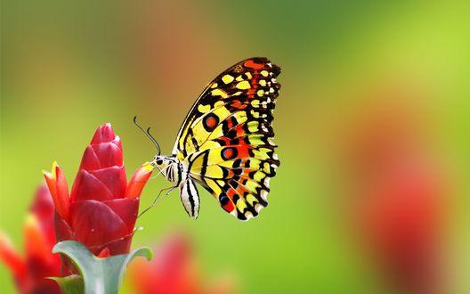 Обои Бабочка махаон сидит на красном цветке имбиря на размытом фоне