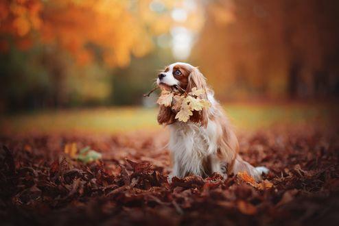 Обои Собачка породы кавалер-кинг-чарльз-спаниель с осенней веточкой в пасти сидит на осенних листях, фотограф Anne Geier