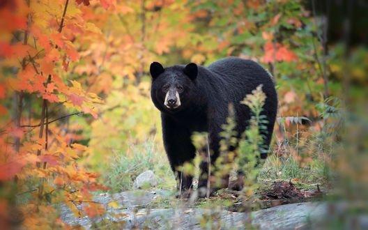 Обои Медведь в осеннем лесу, фотограф Megan Lorenz