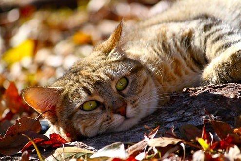 Обои Полосатый кот с зелеными глазами в окружении осенних листьев