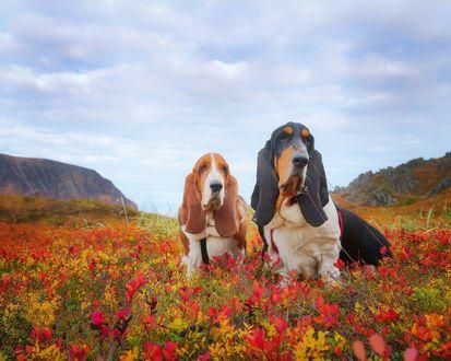 Обои Две собаки породы бассет хаунд в осенней траве