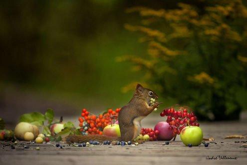 Обои Белочка держит в лапках ягоды, фотограф Andre Villeneuve