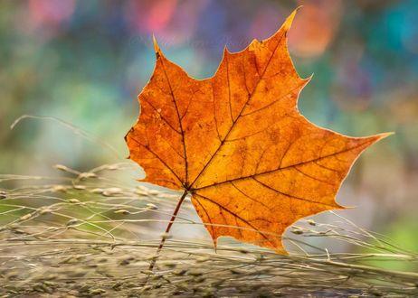 Обои Осенний кленовый листик на фоне боке, фотограф edithnero