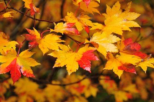 Обои Осенние кленовые листья на ветках, фотограф Ikuya Horie