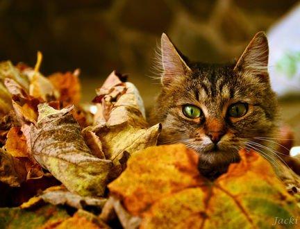 Обои Зеленоглазый кот в осенней листве, фотограф Lyudmila Lucienne